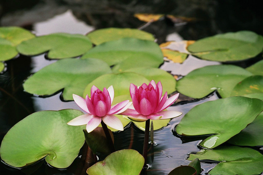 33-magnifique-lotus.jpg